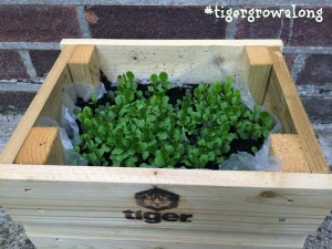 Green nearly grown lettuce leaves