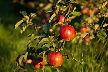 apples-346121_960_720