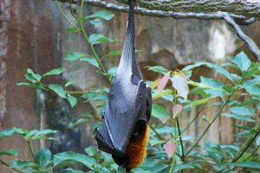bats-65612_960_720