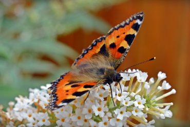 butterfly-1592906_960_720