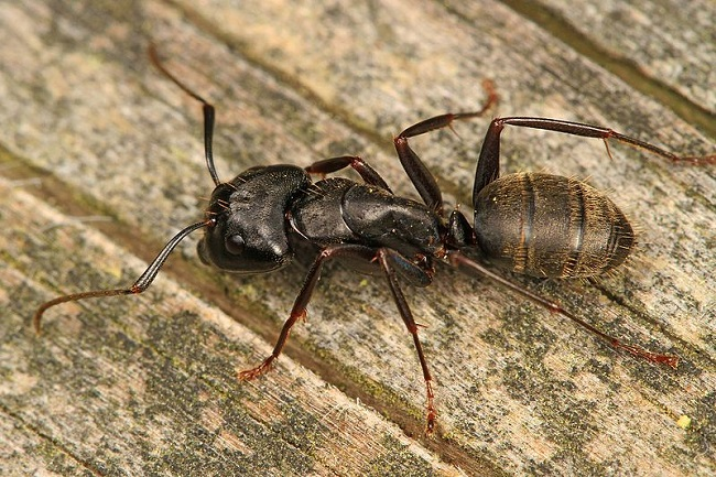 Carpenter ants attacking wood