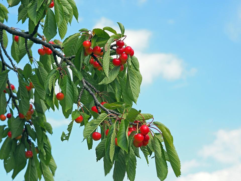 cherries-1495043_960_720