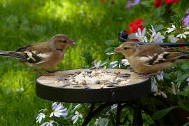 Birds on garden feeder