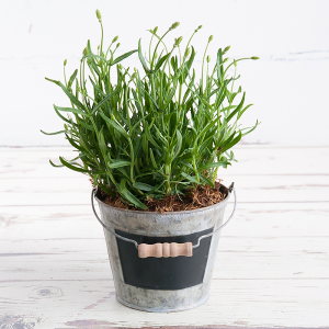 Lavender plant with plant pot