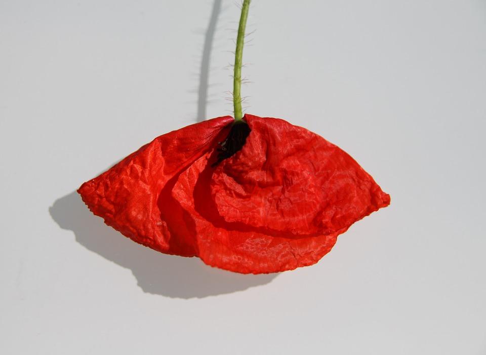 poppy-1438425_960_720