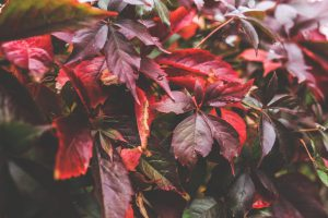 red-leaf-leaves-big