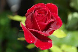 rose-402671_960_720