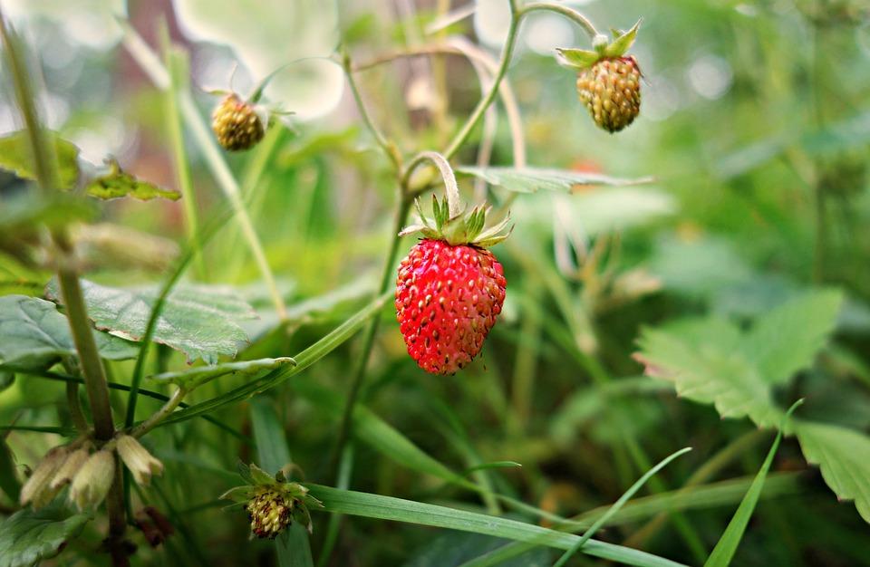 strawberry-1465574_960_720